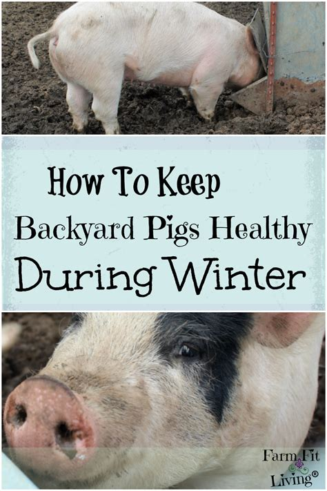How To Keep Backyard Pigs Healthy During Winter  Farm Fit