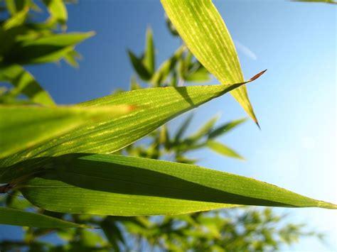 engrais pour bambou crit 232 res de choix utilisation ooreka