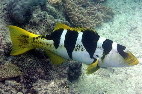 grouper coral saddled species fish saltwater med prev