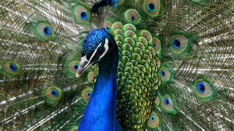 United Airlines grounds 'emotional support' peacock