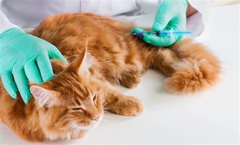 diabetes bei katzen symptome und behandlung von