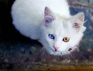 Prenom pour chatte YEUX VAIRONS - Forum Choisir son chat ...