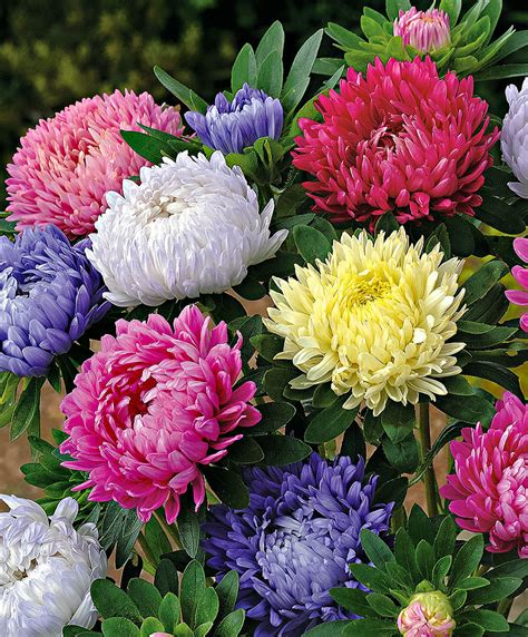 Buy Flower Seed Now Aster 'paeony Flowered Formula Mix