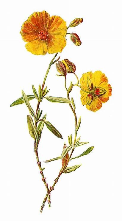 Flower Rock Rose Wild Clip Clipart Illustrations