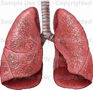 http://www.doereport.com/imagescooked/2637W.jpg | Anatomia ...