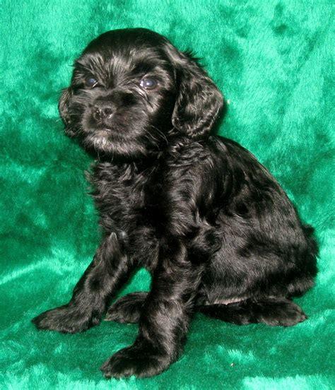 mini australian labradoodle puppy ashford manor labradoodles