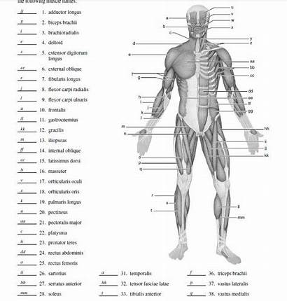 Diagram Muscle Human Physiology Blank Label Anatomy
