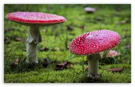 Amanita Muscaria Fly Agaric Mushrooms 4k Hd Desktop