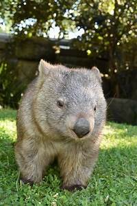 Common wombat - Animals HD Wallpapers and Photos ...