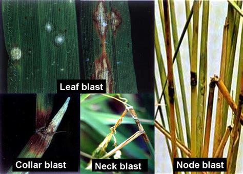 disease resistance blast