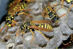Détruire Un Nid De Guêpes : d truire un nid de gu pes a z extermination ~ Melissatoandfro.com Idées de Décoration