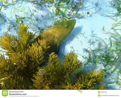 grouper caribbean sand fish bottom preview