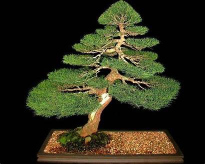 Bonsai Tree Trees Wallpapers Jade Background Backgrounds