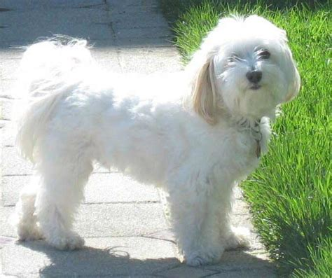 Do Bichon Poodles Shed by Havanese Breed 187 Information Pictures More