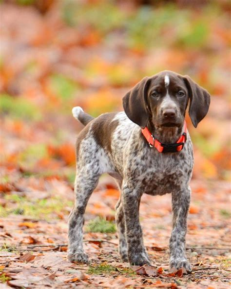 Best 25+ German shorthaired pointer ideas on Pinterest