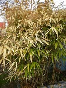 Wie Schnell Wächst Bambus : bambus zur ckschneiden ~ Frokenaadalensverden.com Haus und Dekorationen