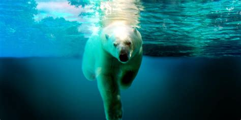 How Do Polar Bears Swim? • Polarbearfacts.net