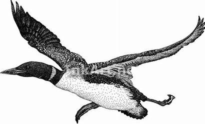 Loon Common Drawing Clip Drawings Illustration Line