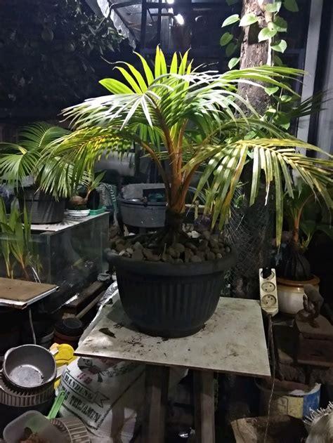 jual bonsai kelapa gading merah imut lapak mozzle craft
