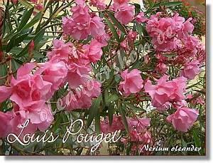 Oleander Stecklinge Wurzeln Nicht : louis pouget nerium oleander rosa gef llt www ~ Lizthompson.info Haus und Dekorationen