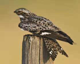 Common Nighthawk Bird