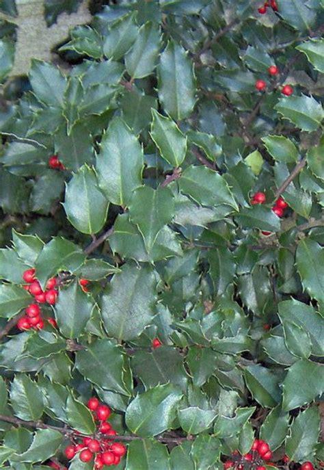 china girl holly bush    kind  holly bushes