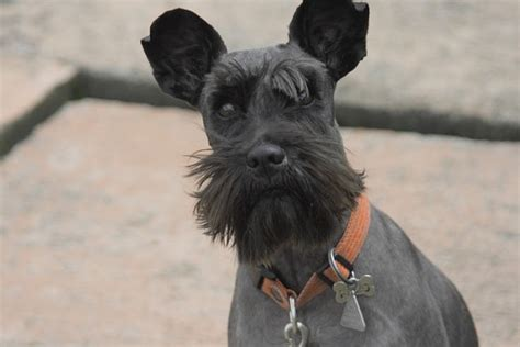 These Schnauzer Haircuts Will Have Your Pooch Looking
