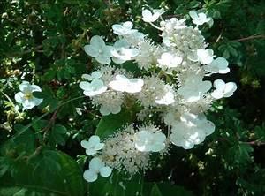 Hydrangea Paniculata Schneiden : hydrangea paniculata die rispenhortensie 39 dharuma 39 ~ Lizthompson.info Haus und Dekorationen