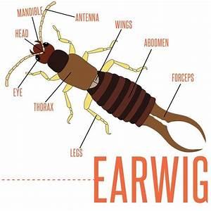 Earwig Diagram