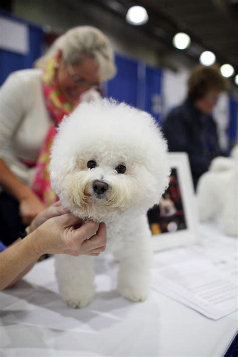 top  smallest dog breeds   world top inspired