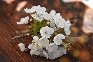 Taille De Cerisier : taille du cerisier quand et comment tailler un cerisier ~ Melissatoandfro.com Idées de Décoration
