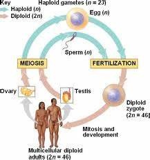 Definition Of Sexual Reproduction |Genetic Engineering Info