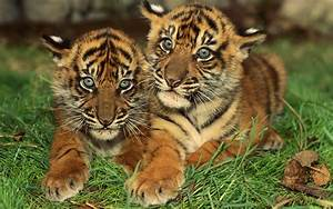 Tiger Cubs | Free National Geographic Pix