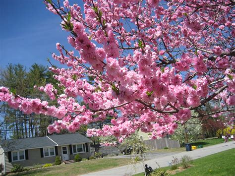 flowering trees pink blossoms trees carpets and cas on pinterest