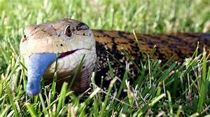 Indonesian Skink : The Famous Blue Tongue Lizard