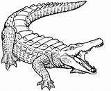 Crocodile Coloring Nile Open sketch template