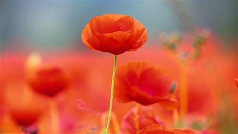 wallpaper poppy flowers orange hd  flowers