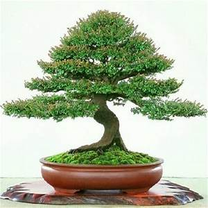 Compare Prices on Red Sandalwood Tree- Online Shopping/Buy ...