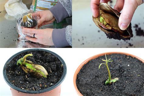 mango selber ziehen mango pflanze z 252 chten mangokern keimen lassen in 5