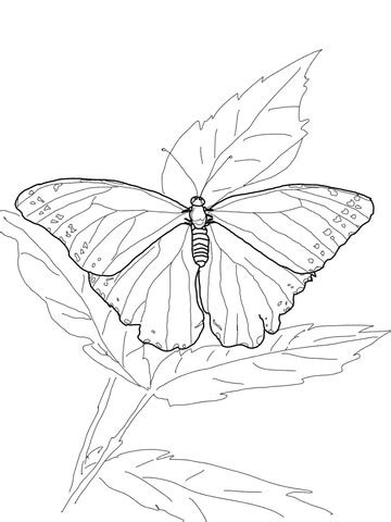 blue morpho butterfly coloring page supercoloringcom