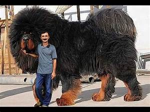 Giant dogs - World's of Biggest Dogs - YouTube