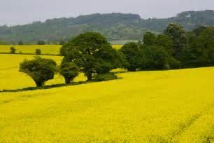 Colza Fields