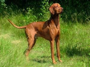 the vizsla aristocratic hungarian hunting dog