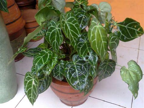 berbagai jenis  ciri ciri tanaman hias bibitbungacom