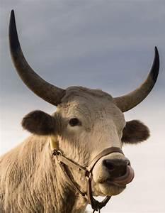 Free Stock Photo Of Animal  Bull  Cow