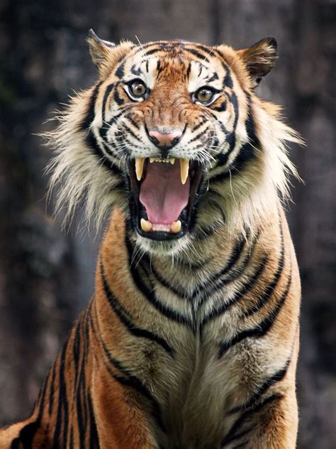 Best Big Cats Say With Roar Images Pinterest