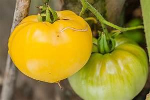 Tomaten Blätter Gelb : fleischtomaten archive seite 2 von 4 tomatensorte ~ Frokenaadalensverden.com Haus und Dekorationen