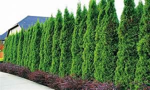 Lebensbaum Hecke Thuja Smaragd Groupon Goods
