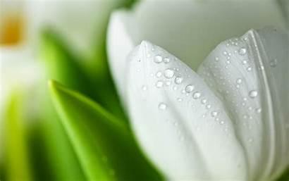 Tulips Wallpapers Flowers Tulip Flower Desktop Roses