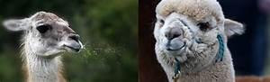10 Differences Between Llamas And Alpacas - Inkari
